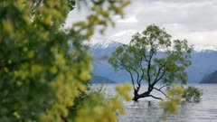 Wanaka tree in New Zeland with lupin flower as foreground bokeh.