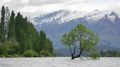 Wanaka tree with snow mountain in early morning.