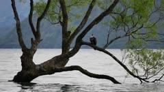 A bird rest at Wanaka tree, South Island