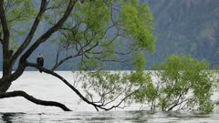 Close up lonely Wanaka tree in spring