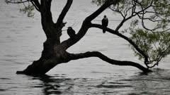 Two birds at lonely tree, Lake Wanaka, Otago, New Zealand.