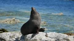 A fur seal sun bath on rock at Kaikoura, South Island, New Zealand in morning.