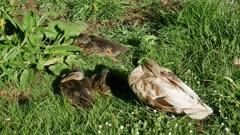 Mallard duck sleep at Botanical Garden, Christchurch, New Zealand.
