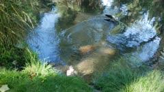 A mallard duck fly into the river at Botanical Garden, Christchurch, New Zealand.