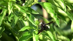 Slow motion carpenter bee collect nectar.