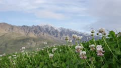 Flower white clover with background as Mount Remarkable at South Island