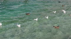 Flock of seagulls and mallard ducks swim