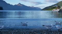 Seagull fly and swim at Lake Wakatipu, Queenstown,South Island