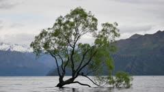 Wanaka tree during spring.