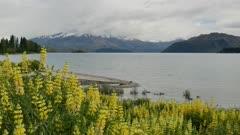 Lake Wanaka with beautiful yellow lupin flower and mallard ducks swim
