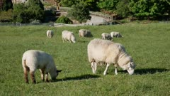 A group of sheep eating grass in green field at Wanaka Town