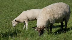 Sheep eat grass in the green field