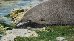 Fur seal sleep at the beach at Kaikoura, South Island, New Zealand