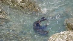 A fur seal swim and play near rock at Kaikoura, South Island, New Zealand