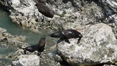 Two fur seal on the rock interact with each other at Kaikoura, South Island