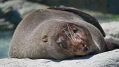 Fur seal sleep on rock during morning at Kaikoura Beach, South Island