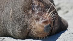Close up the face of fur seal smile during sleep at Kaikoura, South Island