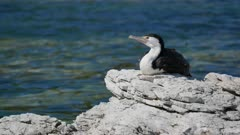 Bird pied shag stay on rock at Kaikoura, South Island