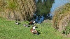 Mallard ducks family at Garden