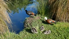 Mallard ducks jump into river in a row at Botanical Garden, Christchurch