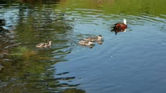 Mallard ducks babies follow mom swim in river at Botanical Garden, Christchurch