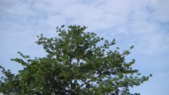 Group of crows gather at the tree. Blue sunny day.