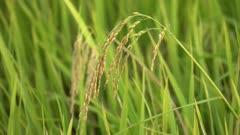 Reap paddy field blow by wind. Green scenery.