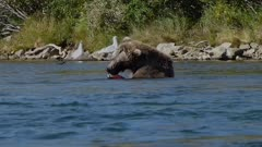 Alaskan brown bear snorkelling, catching and eating red sockeye salmon in a river, Katmai, Alaska