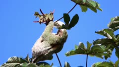 Three toad sloth feeding on leaves in a treetop under blue sky, Costa Rica