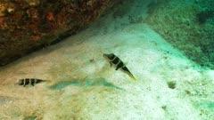 black saddled toby bon vallon seychelles