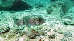 black-spotted porcupine fish seychelles