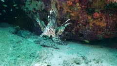common lionfish Seychelles