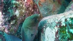 giant moray eel Seychelles