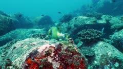 giant trigger fish Seychelles