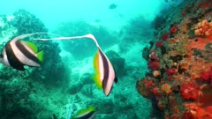 longfin bannerfish Seychelles