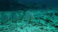 longfin batfish Seychelles