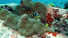 anemone fish Seychelles