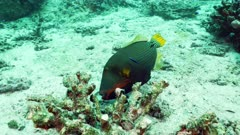 orange lined triggerfish Seychelles
