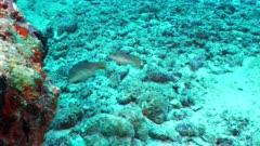 papuan toby Seychelles