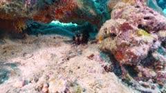 peacock mantis shrimp Seychelles
