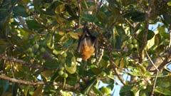 Pteropos fruitbat Seychelles