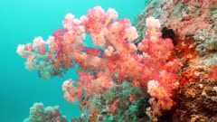 red soft coral Seychelles