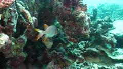 shadowfin soldier fish Seychelles
