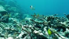 shadowfin soldier fish shoal Seychelles