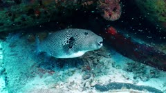 starry puffer fish or star puffer fish Seychelles