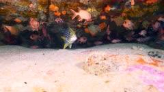 striped sweetlip and bigeye Seychelles