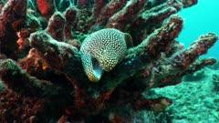 whitemouth moray eel Seychelles