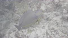bigeye unicorn fish Kuredu Maldives ungraded BT.2020 flat