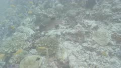 blackspotted puffer fish Kuredu Maldives ungraded BT.2020 flat
