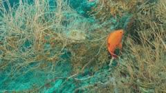 bigeye fish Ellhaidhoo Maldives
